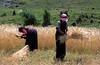 Tibet 2006 Tagong to Kangding harvesting barley Aug 10