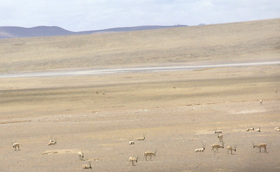 Tibetan antelope, taken from the train.