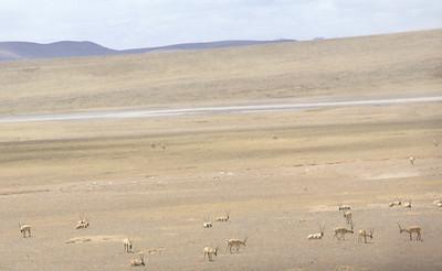 Tibetan antelope, taken from the train.