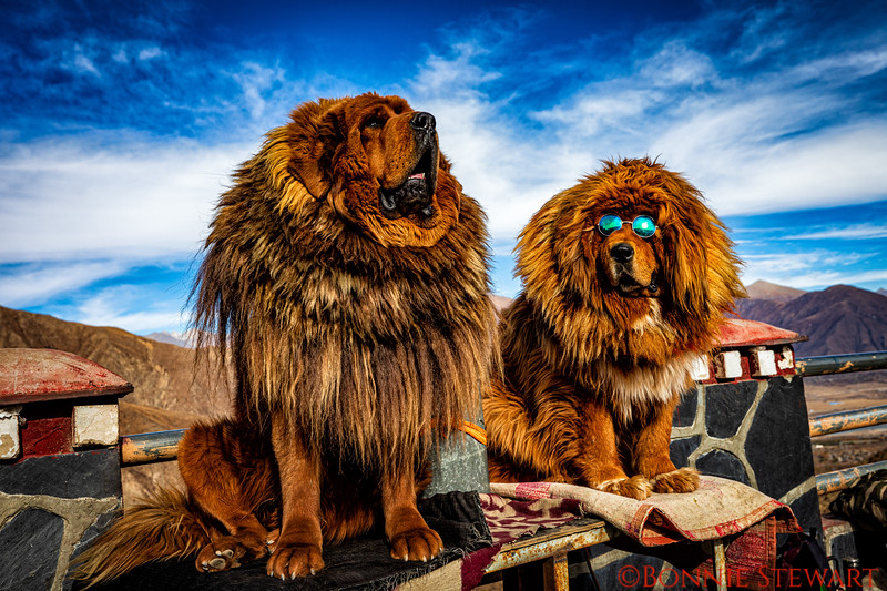 Tibetan mastiffs are monstrous dogs that survive high in the mountains.  They are able to thrive in harsh and low-oxygen environments.  They weigh 150 pounds or more. Picture taken at 15,000 feet.
