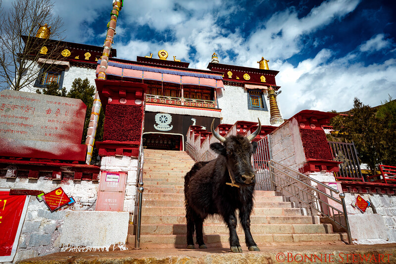 Yak in front of a Monastery