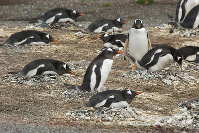 Gentoo Penguins. Pinguinera Isla Martillo, Estancia Haberton, Beagle Channel, Tierra del Fuego, Argentina. 2012.