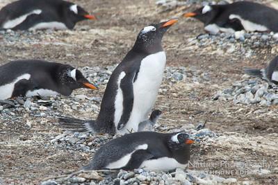 Gentoo Penguin and chick. Tierra del Fuego, Argentina. 2012.