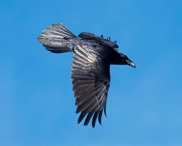 Raven in flight.