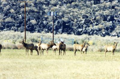 10/23/02 Tule Elk herd. Tinemaha Reservoir Wildlife Viewing Area, off Hwy 395, 7 miles south of Big Pine. Inyo National Forest, Inyo County, CA