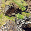 Tintagel flora