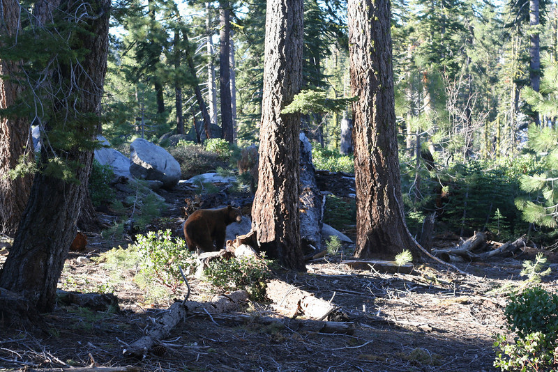 One of the 3 black bears we saw at the start of our Tioga Pass ride.