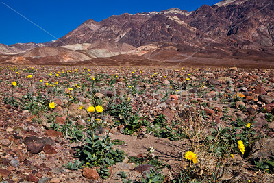Winter wildflowers in Death Valley