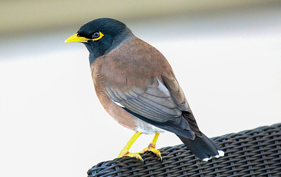 A common myna bird