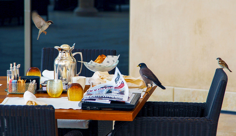 Two sparrows and a common myna want to clean up after breakfast
