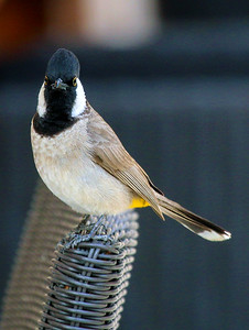 White eared bulbul stares me down