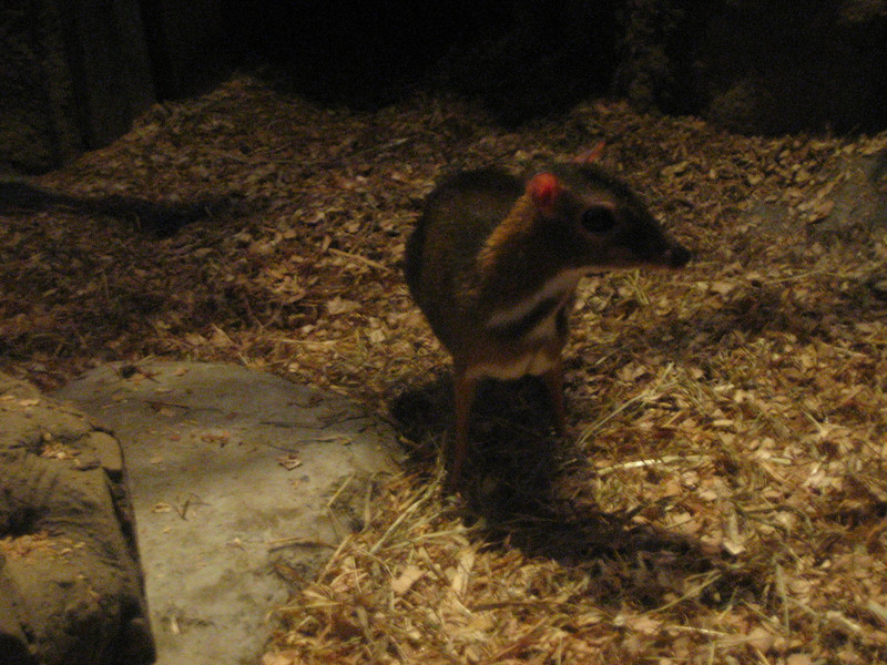 Mouse Deer = Cute