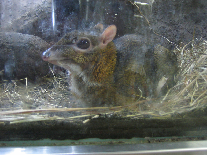 Mouse Deer, behind Glass