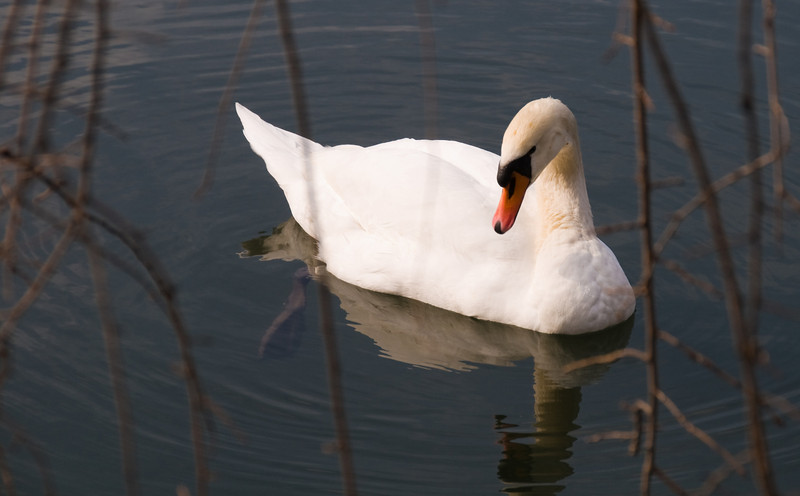 Imperial Palace - Swan
