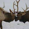 National Elk Refuge Jackson Hole