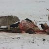Coyote Feeding on an Elk- National Elk Refuge
