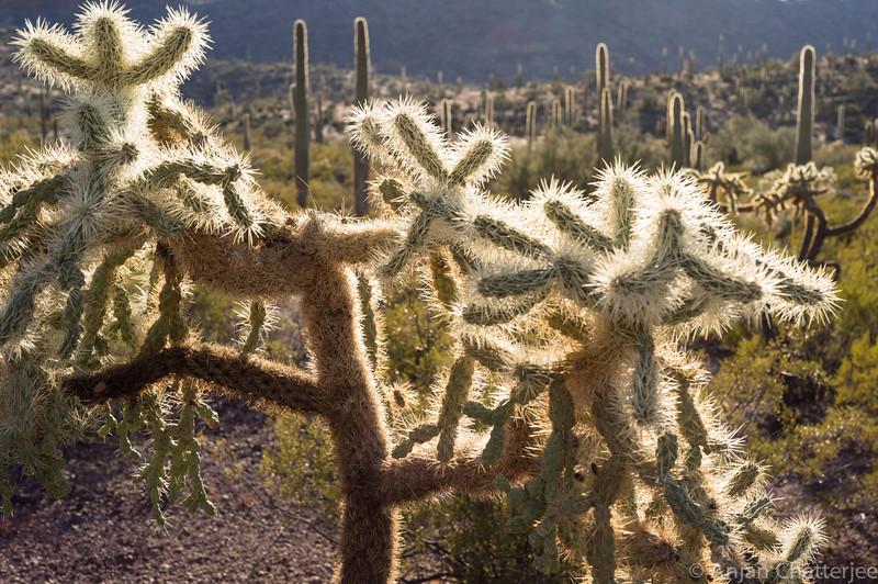 Teddy Bear Cactus. Organ Pipe Cactus National Monument, Arizona