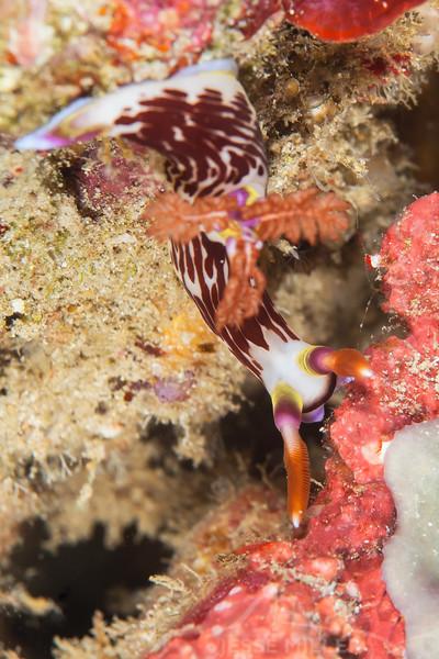 Chamberlain's Nembrotha Nudibranch - Shallow Paradise - Dive #1 of 41