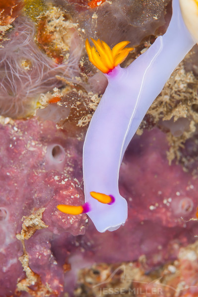 Bullock's Hypselodoris Nudibranch - Ali Baba 1 - Dive #8 of 41