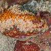 Doriprismatica Rossi Nudibranch - Mbelang - Dive #28 of 41