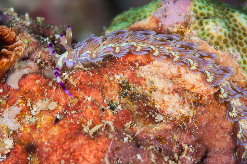 Blue Dragon Nudibranch - Entre 2 Mers II - Dive #22 of 41