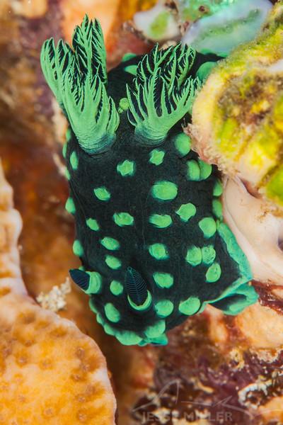 Crested Nembrotha Nudibranch - Ali Baba 1 - Dive #8 of 41