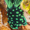 Crested Nembrotha Nudibranch - Ali Baba 1 - Dive #8 of 41