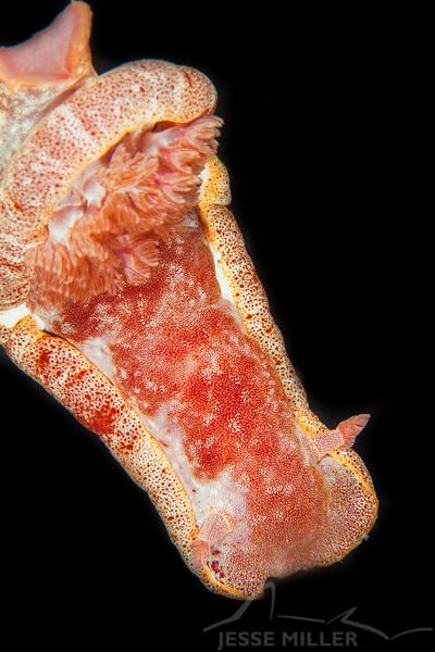 Spanish Dancer Nudibranch - Mbelang - Dive #33 of 41