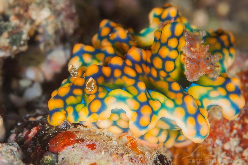 Netted Ceratosoma Nudibranch - Pulau Dua - Dive #7 of 41
