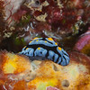 Sea Blue Phyllidia Nudibranch - Solan Reef - Dive #31 of 41