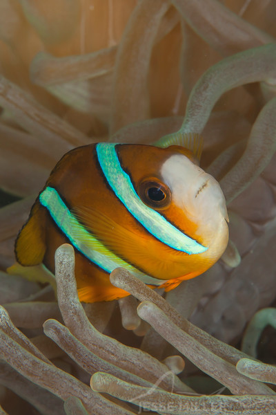 Clark's Anemonefish - Ali Baba 1 - Dive #8 of 41