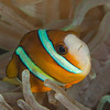 Clark's Anemonefish - Ali Baba 1 - Dive #8 of 41