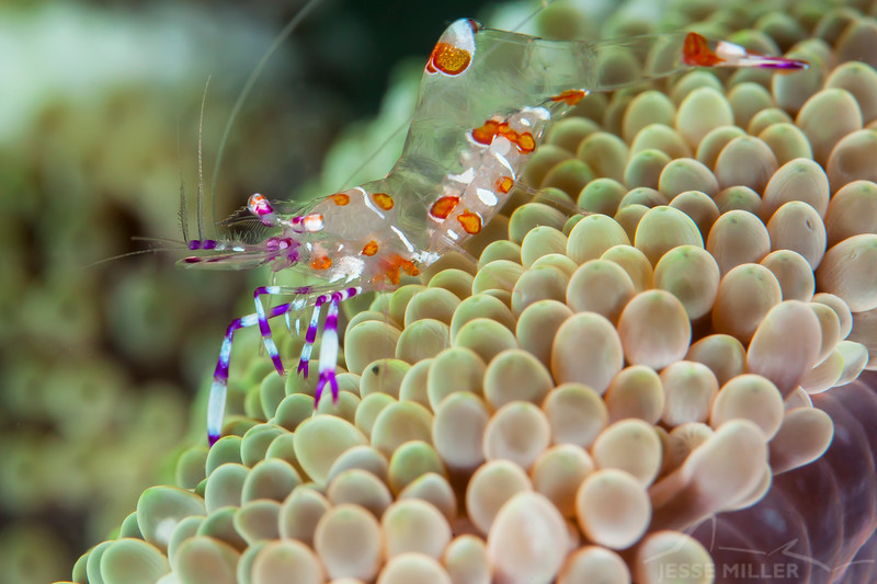 Yellow Spotted Anemone Shrimp - Smile Point - Dive #21 of 41