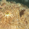 Striated Hairy Frogfish - Tompotika Reef - Dive #18 of 41