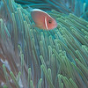 Pink Anemonefish - Solan Reef - Dive #5 of 41