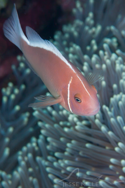 Pink Anemonefish - Entre 2 MERS III - Dive #26 of 41