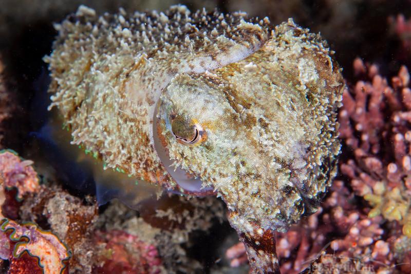 Dwarf Cuttlefish - Pulau Dua Reef - Dive #29 of 41