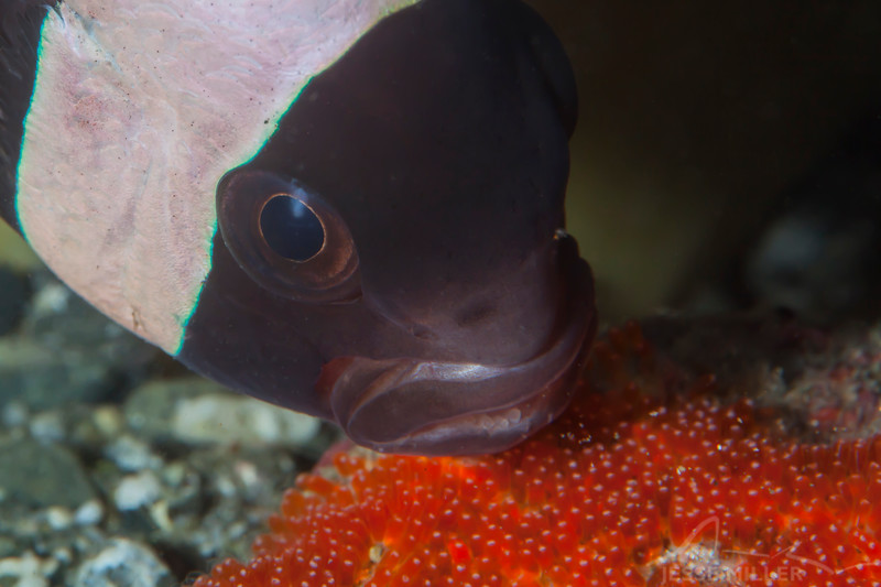 Clark's Anemonefish - Pulau Dua Reef - Dive #14 of 41