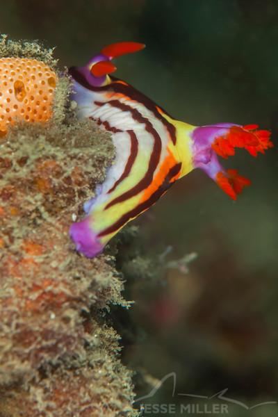 Nembrotha Aurea Nudibranch - Teku Rock - Dive #32 of 41