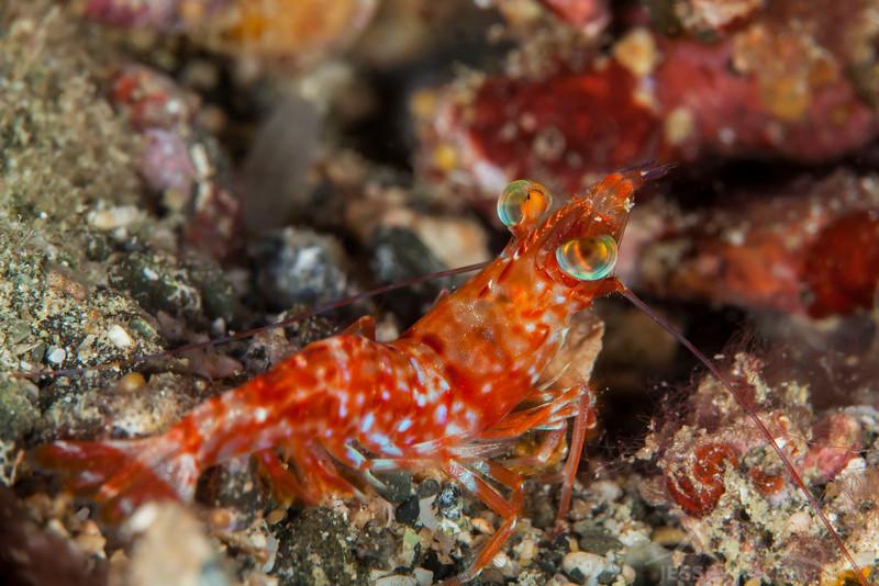 Humpback Prawn - Pulau Dua Reef - Dive #7 of 41