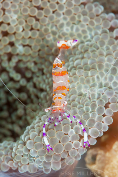 Yellow Spotted Anemone Shrimp - Pulau Dua Reef - Dive #7 of 41