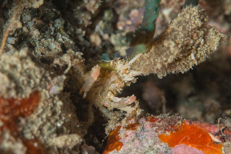 Decorator Crab - Pulau Dua Reef - Dive #14 of 41