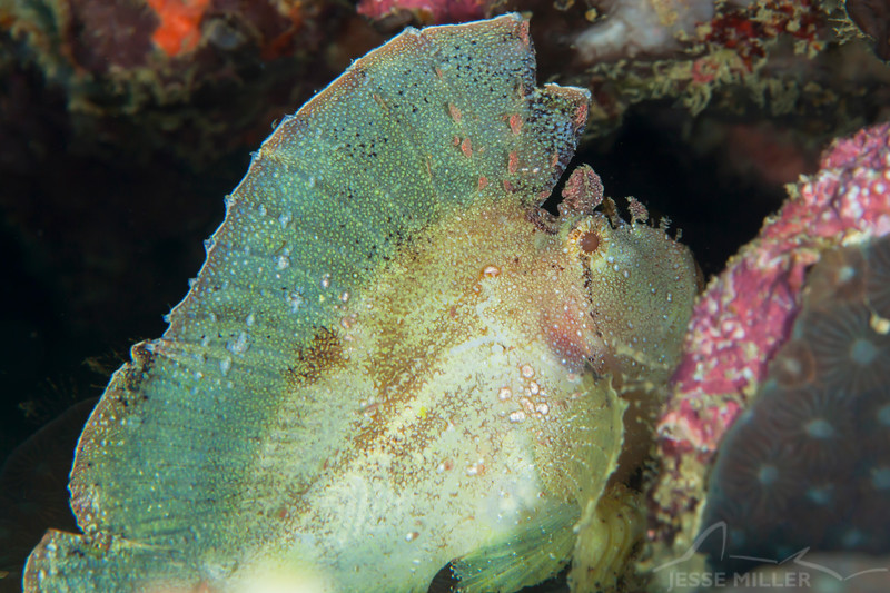 Leaf Scorpionfish - Smile Point - Dive #21 of 41