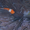 Clown Anemonefish - Ody's Ridge - Dive #19 of 41
