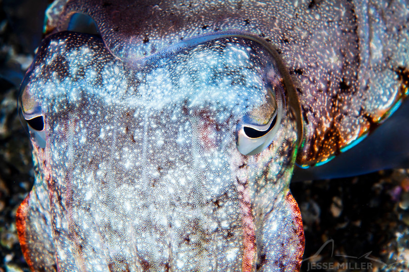 Broadclub Cuttlefish - Pulau Dua Reef - Dive #25 of 41