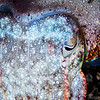 Broadclub Cuttlefish - Pulau Dua Reef - Dive #25 of 41