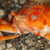 Unknown Purse Crab - Pulau Dua Reef - Dive #29 of 41