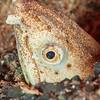 Longfin Snake Eel - Tompotika Reef - Dive #18 of 41