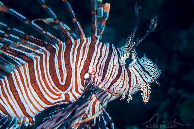 Red Lionfish - Jenad Side - Dive #38 of 41