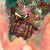 Hairy Netted Hermit Crab - Solan Reef - Dive #5 of 41